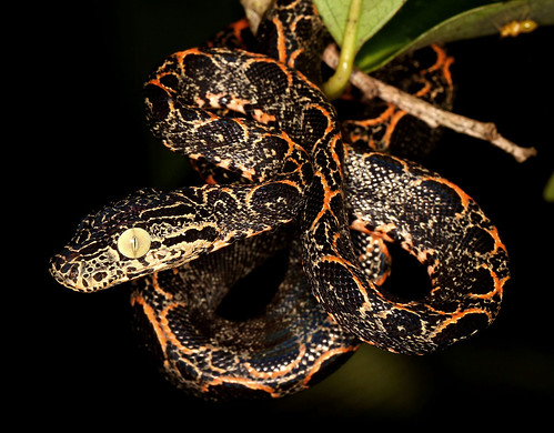 Amazon Tree Boa (Corallus hortulanus) Garden Phase
