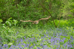 Tawny owl ( Strix aluco ) (steven whitehead) Tags: flowers bluebells canon flying woods eagle display little snowy owl owls barnowl tawny longearedowl snowyowl longeared littleowl tawnyowl shortearedowl shorteared 2013 1dx
