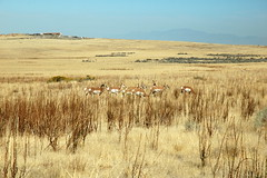 17 - Pronghorn herd (Scott Shetrone) Tags: animals utah events places antelopeisland mammals 7th pronghorns anniversaries