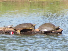 Turtle - Missouri by SpeedyJR (SpeedyJR) Tags: nature animals turtle wildlife missouri augustabuschmemorialconservationarea speedyjr weldonspringmo
