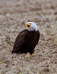 Bald Eagle by Jim Sullivan (jb.sullivan) Tags: county eagle bald jim southern sullivan vigo