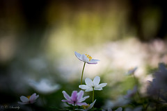 Hvitveis (CecilieSonstebyPhotography) Tags: flowers white flower macro green closeup canon petals outdoor ngc petal anemone npc rekkevik larvik anemonenemorosa hvitveis markiii ef100mm macro100mm kronblader ef100mmf28lmacroisusm