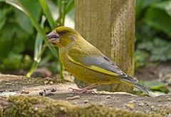 GREENFINCH (WAPPY AL) Tags: green bird yellow garden feeding seed finch greenfinch