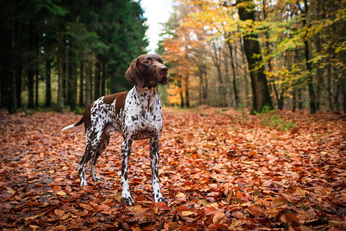 "German Pointer • <a style=""font-size:0.8em;"" href=""http://www.flickr.com/photos/56274740@N08/15627608540/"" target=""_blank"">View on Flickr</a>"
