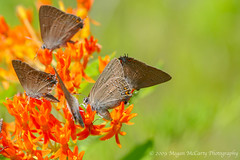 Banded Hairstreaks (Satyrium calanus) [Explored] (Megan E. McCarty) Tags: flowers flower nature fauna butterfly insect flora butterflies insects lepidoptera hairstreak butterflyweed lycaenidae hairstreaks lycaenid bandedhairstreak lycaenids bandedhairstreaks