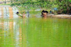 patos1 (Eneko Castresana Vara) Tags: ducks pond patos estanque hdr