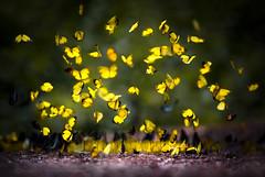 Hoa vng nng chy (L Ph Ti) Tags: macro butterfly ma da rung buom lyphutai