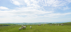 South Coast Scenery (Ricky Reardon) Tags: sheep devon lymeregis uk england roadtrip clouds sky countryside landscape stunning natural rollinghills