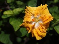 hibiscus (1600 Squirrels) Tags: 1600squirrels photo 5dii lenstagged canon24105f4 northshore kauai kauaicounty hawaii usa