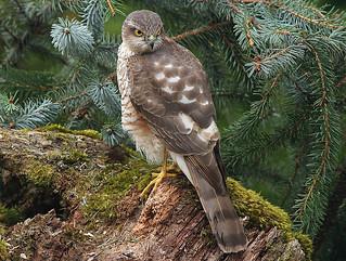 Female SPARROWHAWK ....Powys
