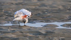 Hard to Reach Spot (dianne_stankiewicz) Tags: coastal beach preening nature wildlife bird tern
