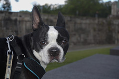 Bully goes in a walk to old Quebec (lezumbalaberenjena) Tags: city canada 2016 quebec bully dog perro boston terrier