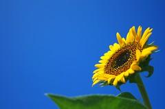 The Summer of Flower( ) (yoshinori.okazaki) Tags: blue yellow sun flower   pentaxart