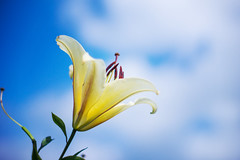 (.) Tags: japan nature summer flower lily sky blue cloud