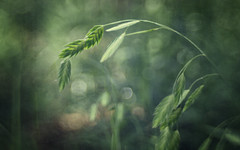 Inland Sea Oats (Anne Worner) Tags: chasmanthiumlatifolium inlandseaoats wildoats indianwoodoats riveroats flatheadoats poaceae perennial seeds seedhead lensbaby sweet35 bend blur bokeh bendy anneworner manualfocus manualfocuslens selectivefocus green texture layers ononesoftware