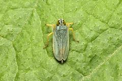 Hemiptera (Plant Hopper sp.) - Costa Rica (Nick Dean1) Tags: hemiptera plantbug planthopper insect insecta arthropoda arthropod hexapoda hexapod insects instar costarica guanacaste lakearenal