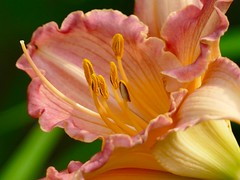July in the garden (lovesdahlias 1) Tags: daylilies flowers blossoms gardens nature summer newengland