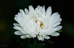 White sound (Kiss Midori) Tags: white flower whiteflower nature beautiful dark