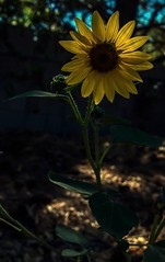 Black Eyed Susan In Low-Key  241/366 (It Sure Feels Like Fall, Love It!!!) Tags: 366the2016edition low key blackeyedsusan flower yellow brown tall inthebackyard 3662016 day241366 28aug16