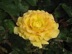 Bittet, so wird euch gegeben (amras_de) Tags: rose rosen rua rosa rue rozo roos arrosa ruusut rs rzsa roe rozes rozen roser rza trandafir vrtnica rosslktet gl blte blume flor cvijet kvet blomst flower floro is lore kukka fleur blth virg blm fiore flos iedas zieds bloem blome kwiat floare ciuri flouer cvet blomma iek