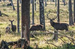observing (Mange J) Tags: 300mm k5ii karlstad magnusjakobsson pentax sverige sweden tamronaf70300mmf456ldmacro vrmland animal bambi cool deer summer tree wild wood nnerud vrmlandsln se