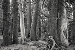 Sub Alpine Forest, Mt. Hood (Scott Withers Photography) Tags: cloudcap mthood oregon sonya7rii sonyfe2470mmf28gm