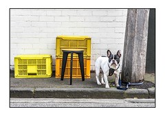 What Are You Looking At? (red stilletto) Tags: southmelbourne laneway crate crates stool cafe wynyard dog famousflickrfive bostonterrier