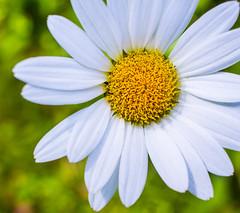 Late Season Daisy (Catskills Photography) Tags: hbw bokeh daisy shastadaisy macro flower canon24mmf28stmlens