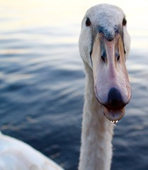 """Adolescent"" swan. Het Spaarne. Haarlem. (elsa11) Tags: swan zwaan hetspaarne haarlem heemstede bird river rivier knobbelzwaan muteswan"