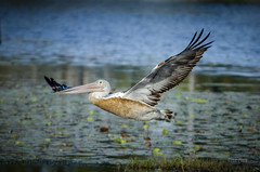Pelican Fly-By (Cisc Pics) Tags: pelican bird fly redbrooklake childers queensland australia nature nikon d7000 dx pelecanus water waterbird