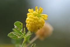 Klee (DianaFE) Tags: dianafe blte pflanze blume wildkraut wiesenblume makro tiefenschrfe schrfentiefe
