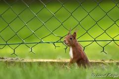 Visiteur du jardin. (suzukigsxr67700) Tags: cureuil squirrel animaux