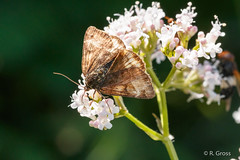 Falter 155 (rgr_944) Tags: schmetterling butterfly papillon tiere insekten macro natur canoneos60dcanoneos70d rgr944 pflanzen blumen