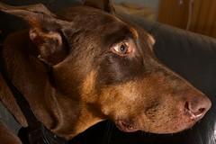 DKH_2979 (Dober Man) Tags: canine boyo dobermann doberman pooch mutt pincsher dog afsnikkor24120mmf4gedvr