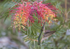 Anna in the shade with Grevillea (Hockey.Lover) Tags: annashummingbird birds myyard backyardbirds backyard