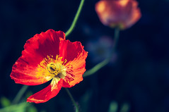 Poppy in the Sun (bobbybee2000) Tags: fujix100 tclx100 shades light sun colors farbe mohn rot schatten licht sunlight outdoor garten garden