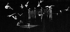 Le ballet des mouettes (rencarrre) Tags: mouettes etang nb bw