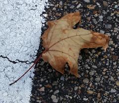 Fallen Leaf In The Parking Lot. (dccradio) Tags: lumberton nc northcarolina robesoncounty afternoon walk outdoors whiteline pavement deadleaf leaf fallenleaf