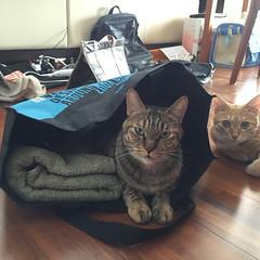 All Photos-1424 (lazybonessss) Tags: iphone6 cat inthebag kitten nana kitten2 momo
