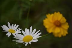 DSC_0407 (Kelson Souza) Tags: flor primavera flower flowers natureza beleza jardim jardinagem garden gardens colorido floricultura petalas ptalas florescer flores margarida margaridas