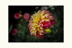 Not sure which way she want to go (Krasne oci) Tags: flower dahlia flowers flowerart botanicalart macrophotography photoart evabartos nature garden multicolored summer autumn prettyflowers beautifulflowers artphotography bokeh dof flickr doublefantasy