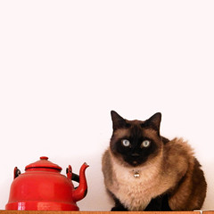 Axl and the teapot (theSnoopyG - thanks for over 460.000 views!) Tags: cat siamesecat siamese gat gato gatto gattino gattosiamese teapot teiera rosso red axl portrait square