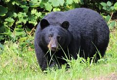Grass Snack ('Dazza' Quarin...back from the Dead) Tags: bear bears blackbear blackbears britishcolumbia canada animal wildlife