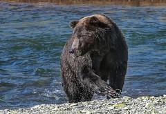 Alaskan Coastal Brown Bear (Cole Chase Photography) Tags: katmainationalparkandpreserve grizzly brownbear alaska sasquatchadventuretourcompany homer alaskanbrownbear katmai alaskanpeninsula salmon canon eos5dmarkiii