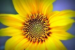 Helianthus (front) (doods-Internet so slow :-o) Tags: helianthus sunflower petals flower garden macro