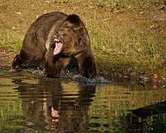 Time to leave the area.... (tvdflickr) Tags: grizzly bear grizzlybear montana usa tripled reflection lake nikon d750 nikond750 copyright photobytomdriggers thomasdriggersphotography wow
