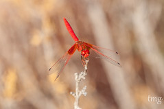 Trithemis kirbyi (Orange-Winged Dropwing) (Teo Martnez (temege)) Tags: odonatos insectos insects naturaleza nature liblulas dragonfly trithemis kirbyi macho male rojo red macro
