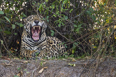 Ona-pintada (Rita Barreto) Tags: onapintada pintada onaverdadeira jaguar jaguarapinima jaguaret acanguu canguu tigre pantheraonca mamfero mamferocarnvoro carnvero animal fauna natureza pantanal matogrosso centrooeste brasil ona onabocejando bocejo bocaaberta riocuiab