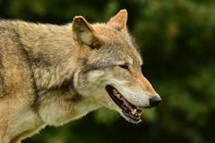 Grrr (Emma Afolabi) Tags: wolf animal outdoor wildlife howl teeth snarl
