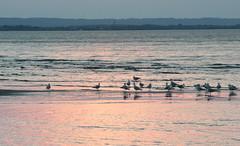 gulls at sunset (epicDi) Tags: portdalhousie gulls lakeontario stcatharines sunset